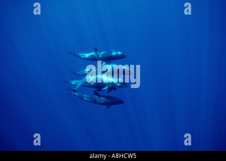 Melon headed whale Peponocephala electra is found in tropical oceans worlwide Kona Hawaii - Stock Photo