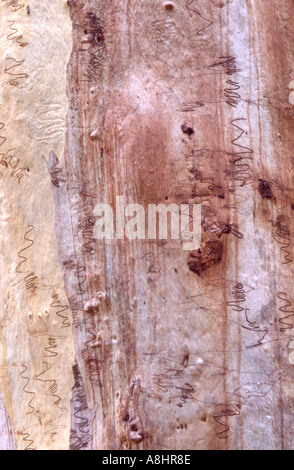 Abstract detail Scribbly gum Eucalyptus haemastoma Australia showing characteristic moth larvae burrow marks - Stock Photo