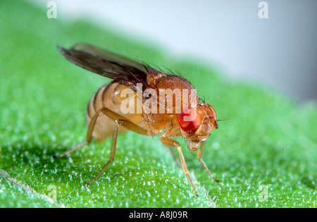 Drosophila the vinegar fly or fruit fly Stock Photo