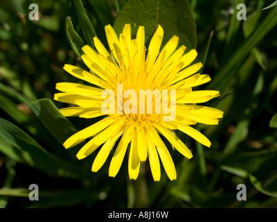 Yellow dandelion taraxacum close up - Stock Photo