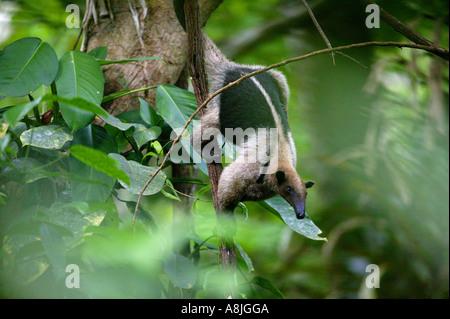 Northern Tamanadua anteater, Tamandua mexicana opistholeuca, climbing down a tree in the rainforest of Soberania - Stock Photo