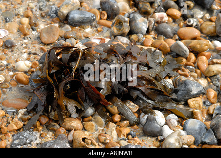 Wet Seaweed on beach surrounded by pebbles serrated wrack fucus serratus - Stock Photo