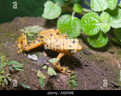 Panamanian Golden Frog Atelopus zetecki Elle Valle Panama - Stock Photo