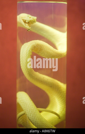 Snake in Glass Container Preserved in Formalin - Stock Photo