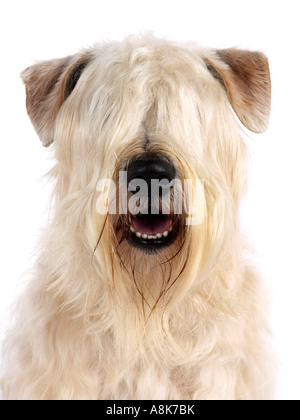 The head of a soft coated wheaten terrier. - Stock Photo