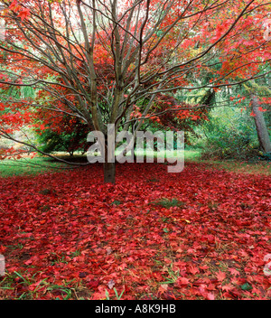 Carpet of fallen leaves from Japanese Maple in autumn - Stock Photo