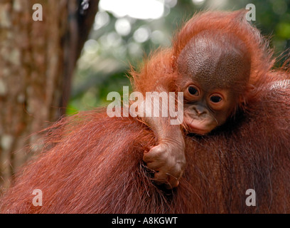 Portrait of a very young orangutan baby relaxing on its mothers back - Stock Photo