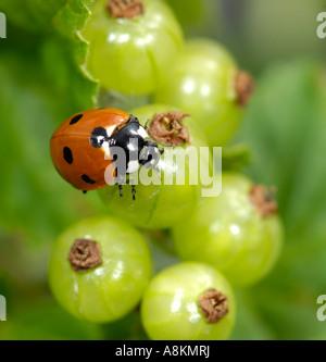European Seven-spot ladybird (Coccinella septempunctata) on unripe redcurrants (Ribes rubrum) - Stock Photo