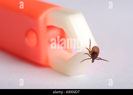 Tick (Ixodida) being removed with tick pincer - Stock Photo