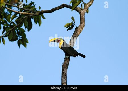 Chestnut-mandibled Toucan (Ramphastos swainsonii), Costa Rica - Stock Photo