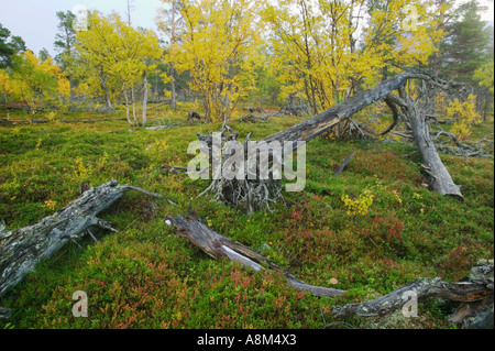 Old growth forest in Stora Sjöfallet National Park; Laponia World Heritage Area, Lapland, Sweden. - Stock Photo