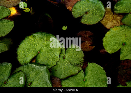 Water Drops on Green Lily Pads - Stock Photo