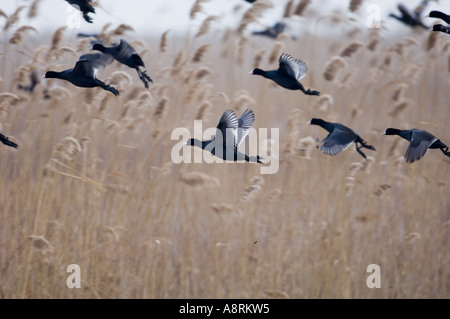 Coots Fulica atra flock in flight Norfolk winter - Stock Photo