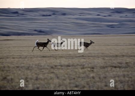 White-tailed Deer running through a Saskatchewan field - Stock Photo