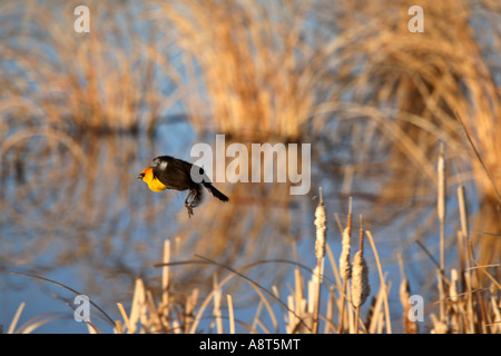Yellow-headed Blackbird perched on bulrush - Stock Photo