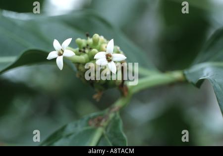 Indian Mulberry, Painkiller (Morinda citrifolia, Morinda bracteata), blossoms - Stock Photo