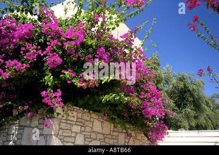 Bougainvillea Almyros Aghios Ayios Nikolaos Ag Nik Eastern Crete Greece Europe