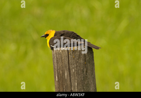 Yellow Blackbird sitting on post - Stock Photo