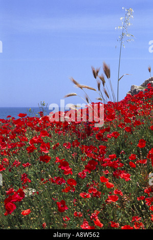 Poppies growing in the ruins of a Roman Fort against a blue sky and sea - Stock Photo