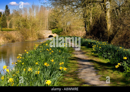 Daffodils along the bank of the River Leach at Eastleach in the Cotswolds, Gloucestershire, England, UK - Stock Photo