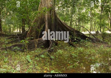 The large base of a Samauma tree (ceiba pentandra) in a primary rainforest area of Brazil. - Stock Photo