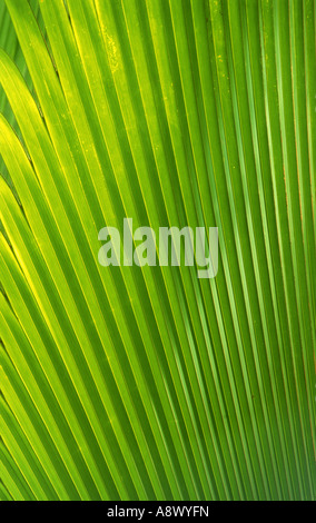 Palm frond in Valle De Mai National Park on Praslin Island in the Seychelles - Stock Photo