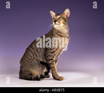 Oriental Shorthair cat -  sitting - Stock Photo