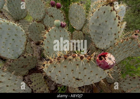 Prickly pear cactus in fructification (Mexico). Opuntia robusta en fruits (Mexique). - Stock Photo