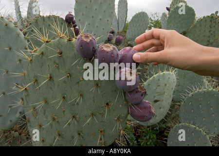 An opuntia robusta in fructification (Mexico). Opuntia robusta en fruits (Mexique). - Stock Photo