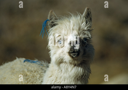 Blue-eyed alpaca (Lama pacos) - Peru. Alpaga (Lama pacos) aux yeux bleus (Pérou). - Stock Photo