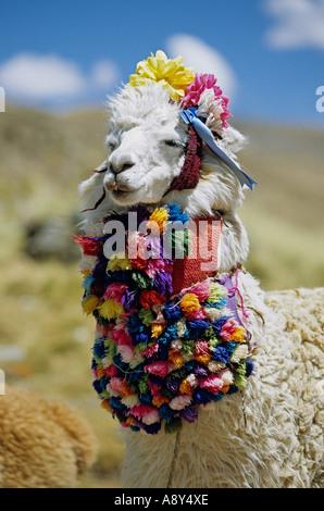 Alpaca (Lama pacos) dressed up for tourists (Huaraz surroundings). Alpaga décoré pour les touristes (Environs de - Stock Photo
