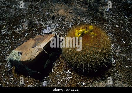 Cactus in bloom on the site of Winchus (Peru). Cactus en fleurs sur le site de Winchus (Pérou). Stock Photo