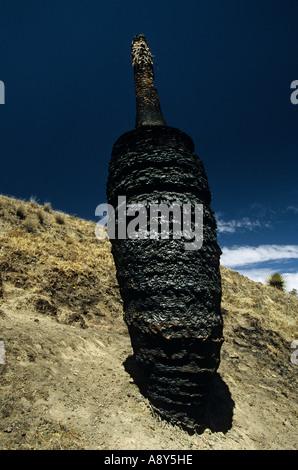 Puya Raimondi (Puya sp) charred on the site of Winchus (Peru). Puya Raimondi (Puya sp) calcinée sur le site de Winchus - Stock Photo