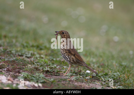 SONG THRUSH TURDUS PHILOMENOS STANDING ON GROUND WITH WORM IN BEAK - Stock Photo