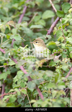 WILLOW WARBLER PHYLLOSCOPUS TROCHILUS PERCHING IN BRAMBLES - Stock Photo