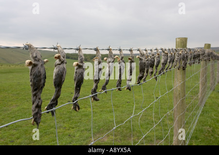 Dead moles hung on barbed wire fence near Settle Yorkshire UK - Stock Photo