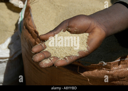 White teff grain in the hand of a coloured person on the market of Boditti Ethiopia - Stock Photo