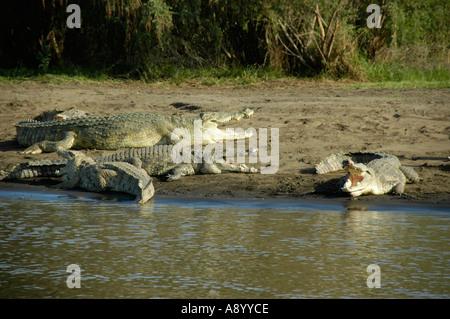 Big crocodiles with open throat on the shore of Chamo Lake near Arba Minch Ethiopia - Stock Photo