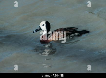 White faced Duck Lervon Bird Gardens Zimbabwe southern Africa - Stock Photo