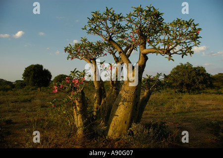 Tree of a Desert rose in the savannah Turmi Ethiopia - Stock Photo