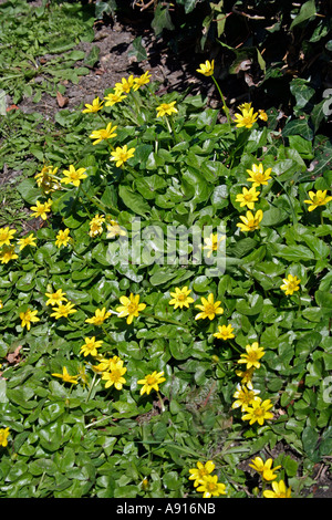 Lesser celandine in flower during early Spring, (Ranunculus ficaria) Wiltshire, UK. Europe - Stock Photo