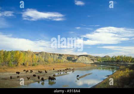 American Bison along the Little Missouri River in Theodore Roosevelt National Park North Dakota - Stock Photo