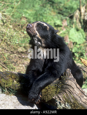 young spectacled bear - lying / Tremarctos ornatus - Stock Photo