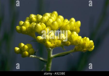 Helichrysum Orientale Compositae - Stock Photo