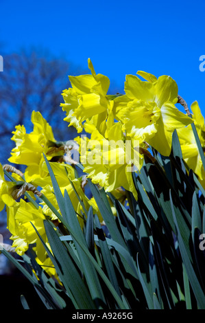 Paris FRANCE, Nature, spring flowers Sunday Yellow Daffodils Against Blue Sky - Stock Photo