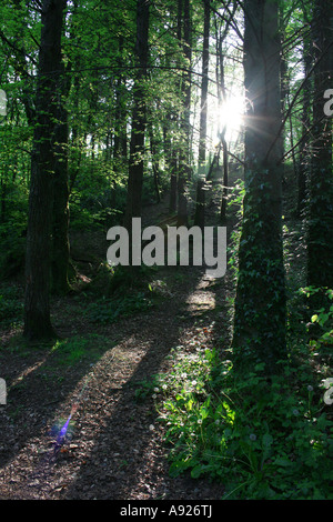 Late evening sunshine penetrating the trees in Belleek woods, Ballina, County Mayo, Ireland - Stock Photo