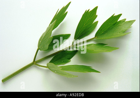 Medicinal plant herb spice Lovage Levisticum officinale Liebstock - Stock Photo