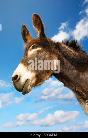Donkey's head against blue sky, side view - Stock Photo