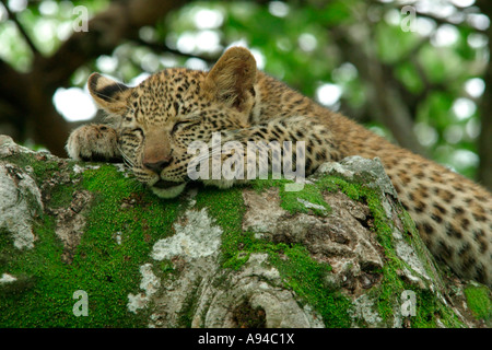 Portrait of a sleeping leopard lying on a large moss covered branch Singita Sabi Sand Game Reserve Mpumalanga South - Stock Photo