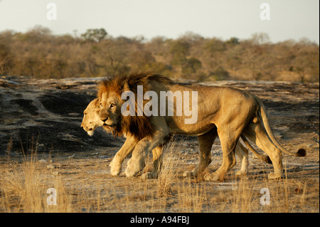 A mating pair of lions walking shoulder to shoulder in warm lighting Sabi Sand Game Reserve Mpumalanga South Africa - Stock Photo